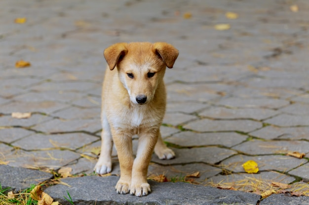 An abandoned, homeless stray dog is standing in the street. Premium Photo