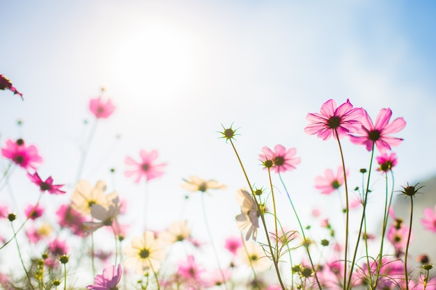 Abatract.sweet color cosmos flowers in bokeh texture soft blur for background with pastel vintage retro style Free Photo