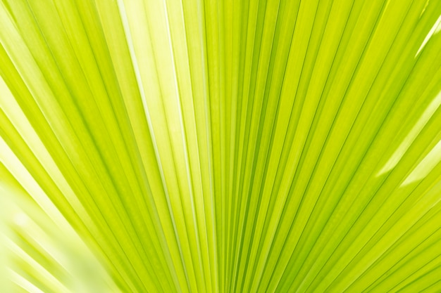 Abstract background from closeup of palm leaf texture with sunlight. nature backdrop. Premium Photo