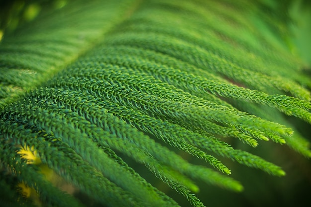 Abstract background of norfolk island pine tree Premium Photo