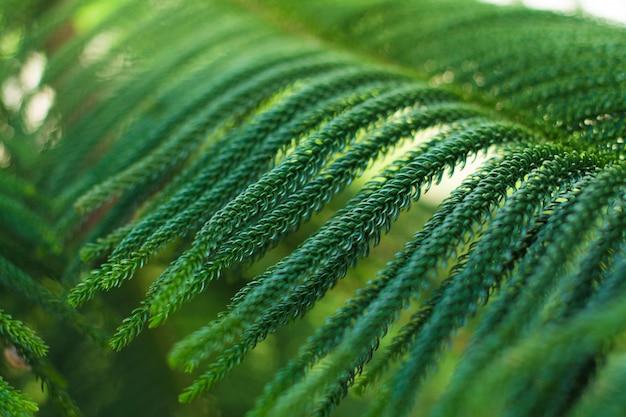Abstract background of norfolk island pine tree Premium Photo