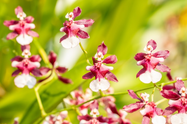 Abstract blurred background of brown and white orchid, oncidium. Premium Photo