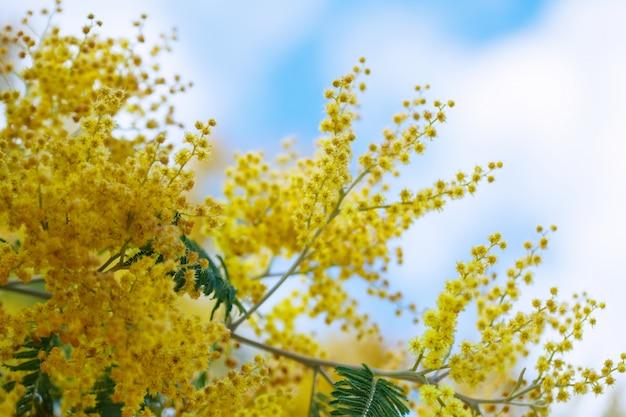 Acacia dealbata branches against sky Free Photo