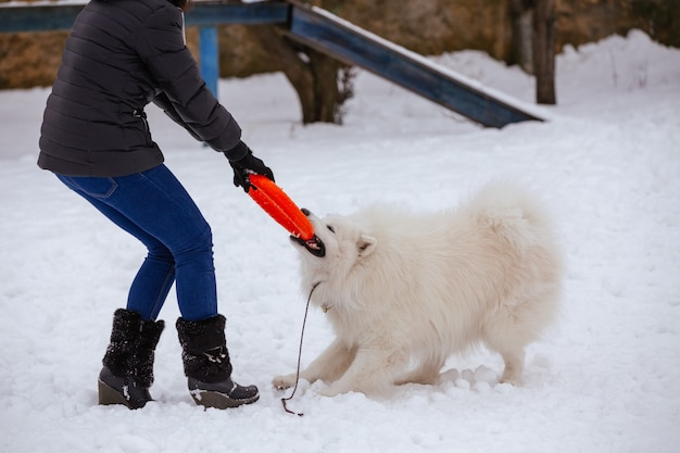 An active samoyed dog plays with a man Premium Photo