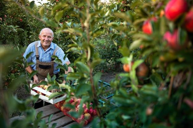 Coltivatore senior attivo che organizza frutta mela appena raccolta nel frutteto Foto Gratuite