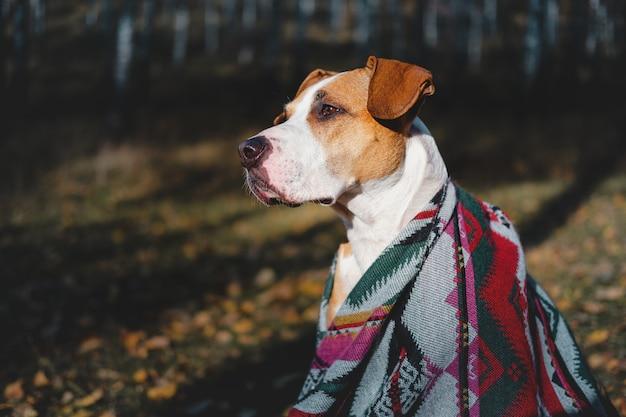 秋の森でのハイキング犬のヒーローショット。アステカのポンチョのスタッフォードシャーテリア犬は白activeの木、アクティブな休息の概念の中で座っています。 Premium写真