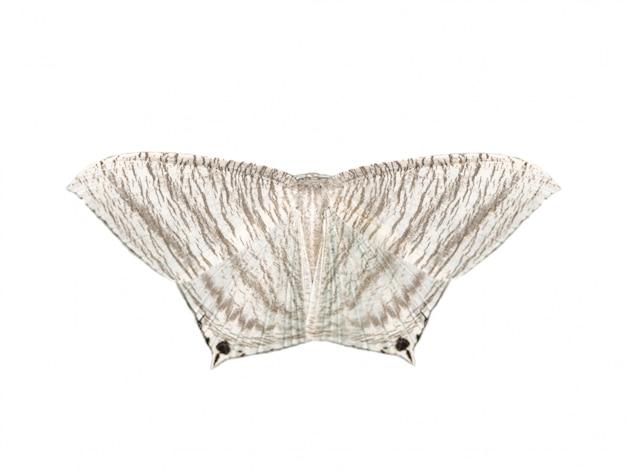 白い背景に分離された先のとがったフラットウィング蝶(ミクロニアaculeata)のイメージ Premium写真