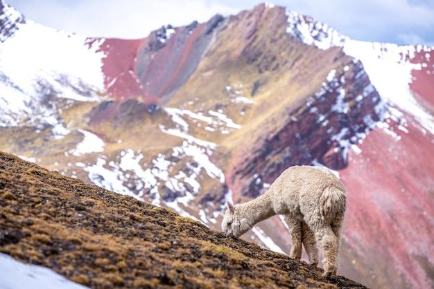 Acute alpaca bianco mangiare erba sulle montagne arcobaleno, perù Foto Gratuite