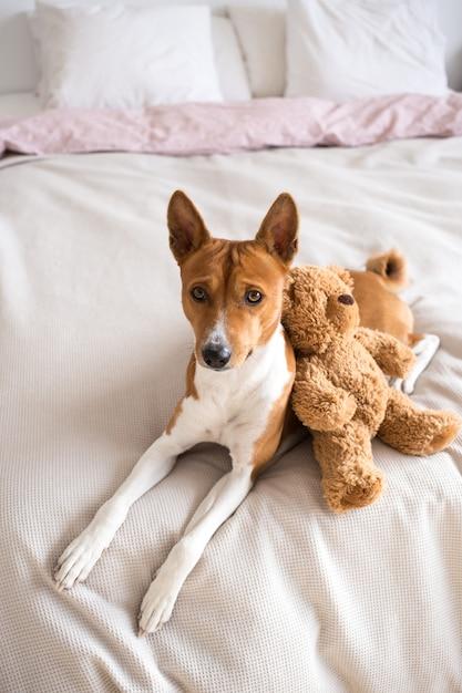 사랑스럽고 달콤한 Basenji 품종의 작은 강아지가 분홍색 시트와 함께 침대에 누워 갈색 곰과 함께 포옹합니다. 무료 사진