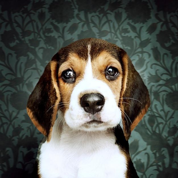 Adorable beagle puppy solo portrait Free Photo