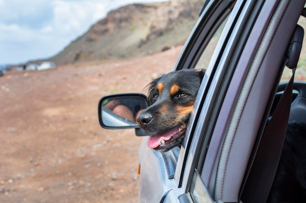 Adorable black dog looking out the car window Premium Photo