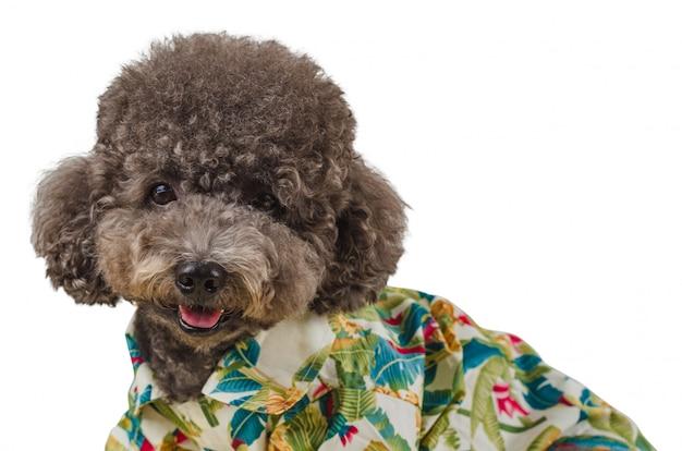 An adorable black poodle dog wearing hawaiian shirt ...