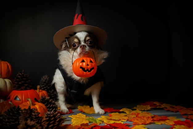Adorable chihuahua dog wearing a halloween witch hat and holding a pumpkin on dark . Premium Photo