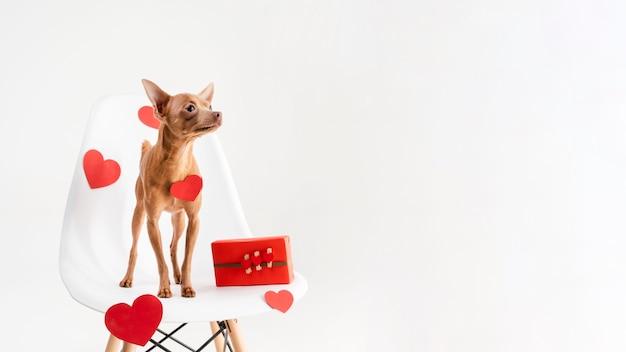 Cucciolo adorabile della chihuahua su una sedia Foto Gratuite