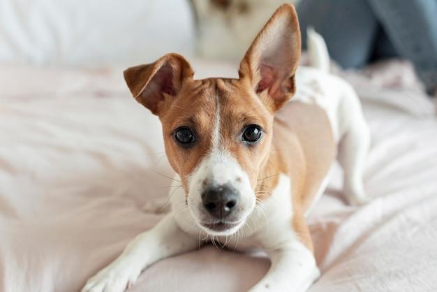 Очаровательная собака позирует на кровати Premium Фотографии