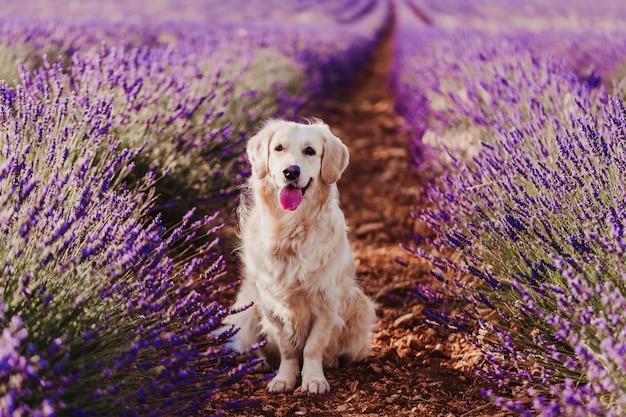 Adorable golden retriever dog in lavender field at sunset Premium Photo