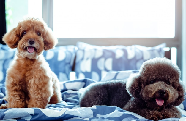 An adorable happy brown and black poodle dog smiling and relaxing on messy bed Premium Photo