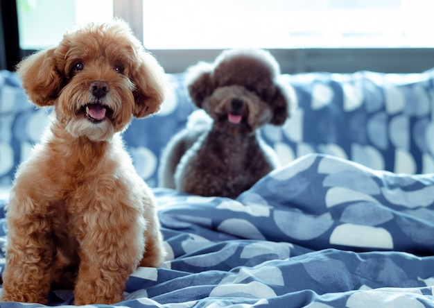An adorable happy brown and black poodle dog smiling and sitting on messy bed Premium Photo