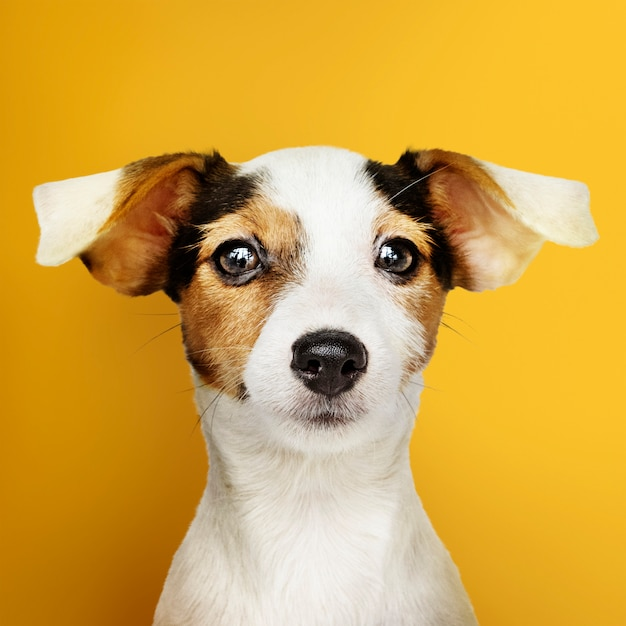 Adorable jack russell retriever puppy portrait Free Photo