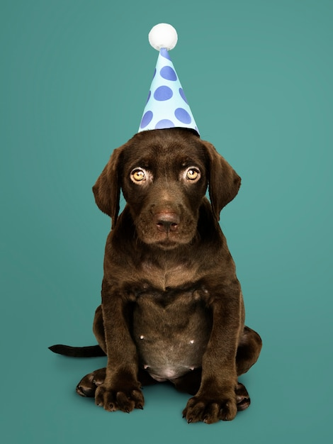 Adorable labrador retriever puppy wearing a party hat Free Photo