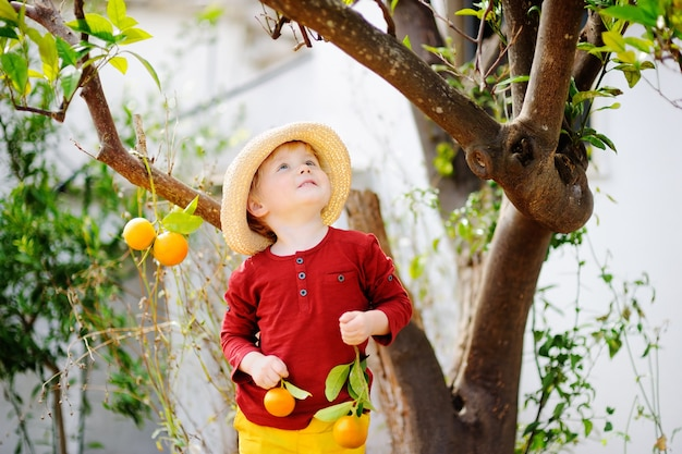 Adorable little boy in straw hat picking fresh ripe tangerine in sunny tangerine tree garden in italy. Premium Photo