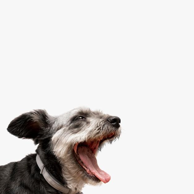 Adorabile cucciolo di razza mista che sbadiglia con lo spazio della copia Foto Gratuite