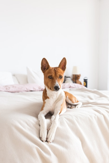 사랑스럽고 예쁘고 귀여운 개 Basenji 강아지가 침대에 달려 있고 외로운 개가 집에서 주인을 기다립니다. 무료 사진