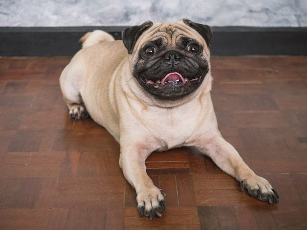 Adorable pug dog lying on floor at home, 3 year old, looking at the camera Premium Photo