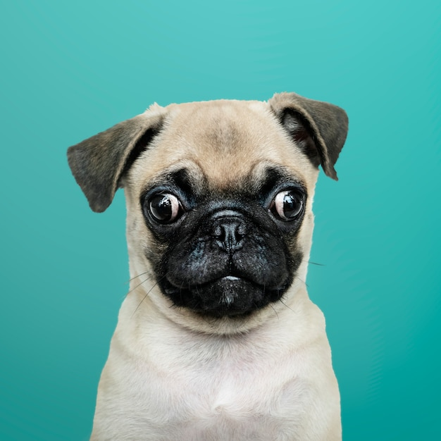 Adorable pug puppy solo portrait Free Photo
