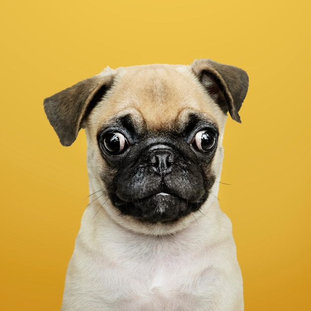 Adorable pug puppy solo portrait Free Photo