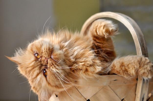 籐のバスケットに座っている愛らしい赤い国内のペルシャ猫、ペットの愛の概念 Premium写真