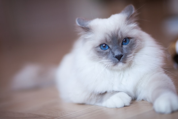 Adorable siberian fluffy cat with blue eyes  indoors Premium Photo