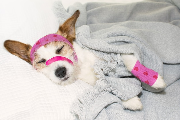 Adorable sick dog sleeping or resting on bed Premium Photo