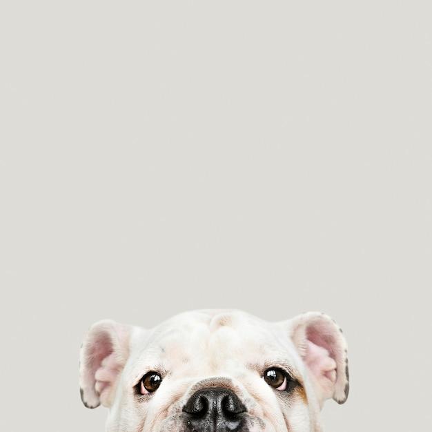 Adorable white bulldog puppy portrait Free Photo