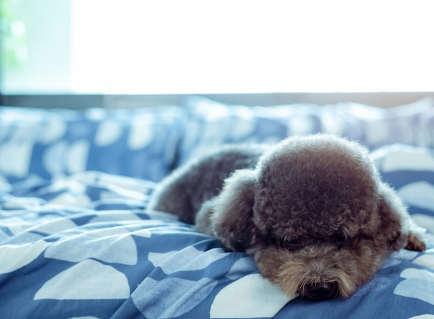 An adorable young black poodle dog lay on bed alone with sadly face after wake up in the morning Premium Photo