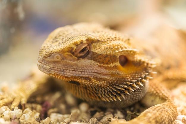 Adult Bearded Dragon Agama Pogona Vitticeps Lizard In Terrarium