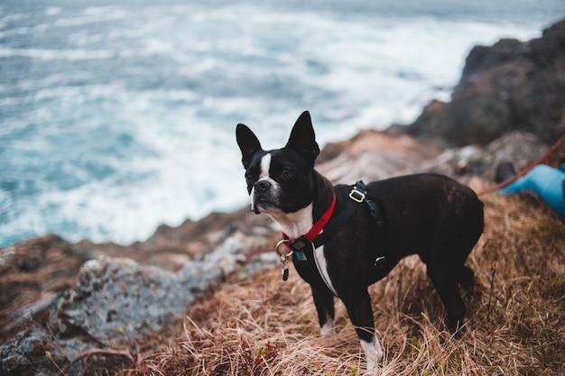 Terrier di boston adulto vicino all'oceano Foto Gratuite
