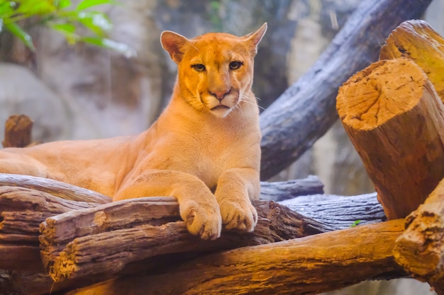 aa1818ea77f2 Adult female cougar (puma concolor) looks down from birch branches -  captive animal Premium Photo