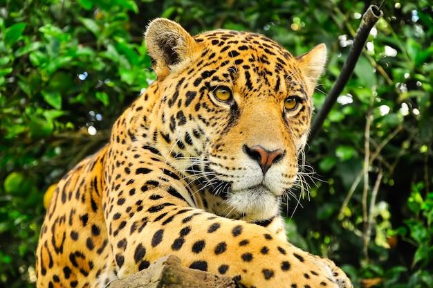 Adult jaguar Premium Photo