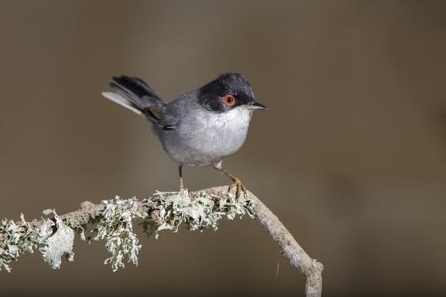 성인 남성 Sardinian Warbler, Sylvia Melanocephala 무료 사진