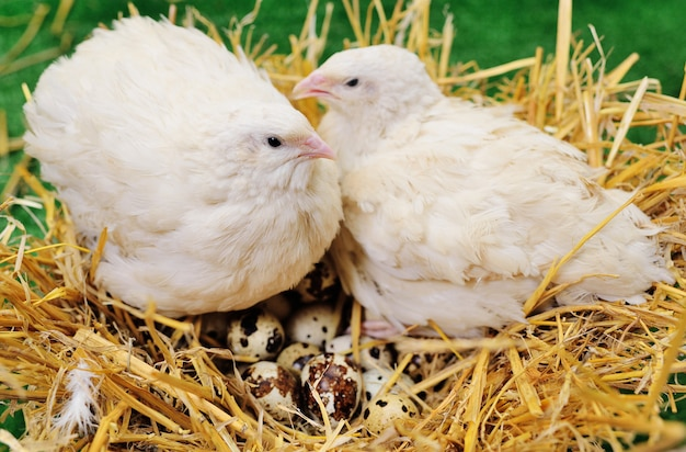 ウズラの卵のクローズアップと巣に座っている大人のウズラ Premium写真