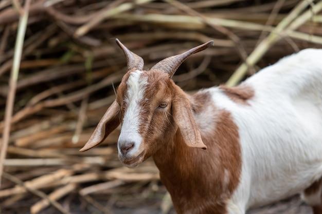 Взрослые красно-белые козы с рогами и на мясо козлиные. Premium Фотографии
