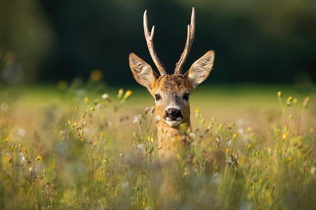 Adult roe deer buck with long antlers hidden in grass with wildflowers looking Premium Photo