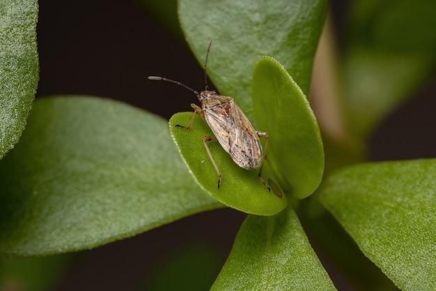 Взрослый клоп подсемейства orsillinae на портулака обыкновенном вида portulaca oleracea Premium Фотографии