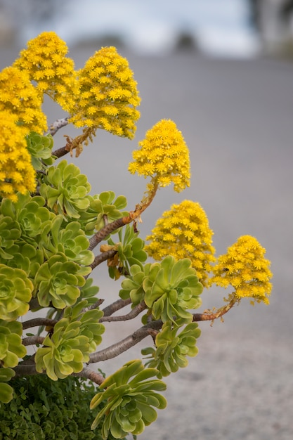 Aeonium (aeonium simsii) succulent Premium Photo