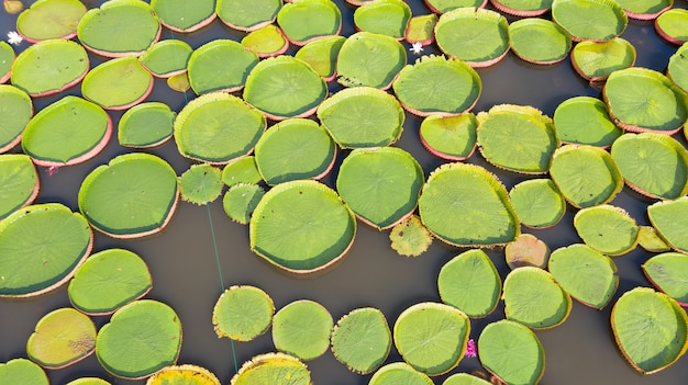 Aerial photo top view of victoria water lilies Premium Photo