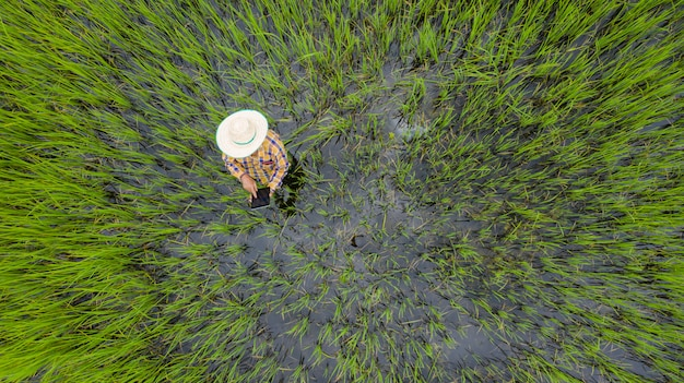 Aerial top view of farmer using digital tablet in a green rice field Premium Photo