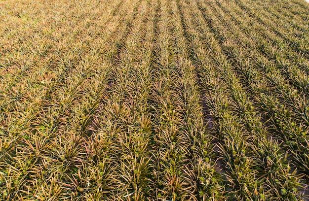 Aerial top view pineapple plantation Premium Photo