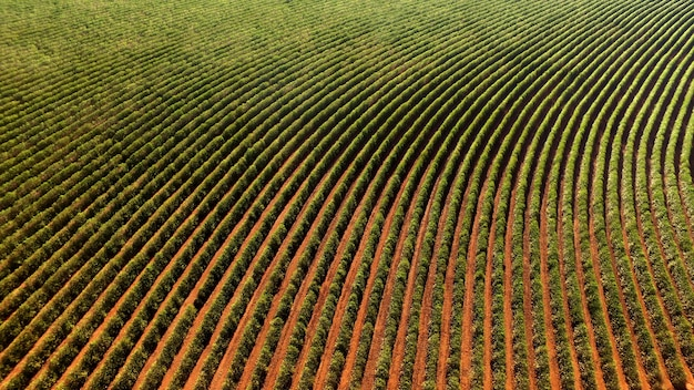 Aerial view coffee plantation in minas gerais state - brazil Premium Photo