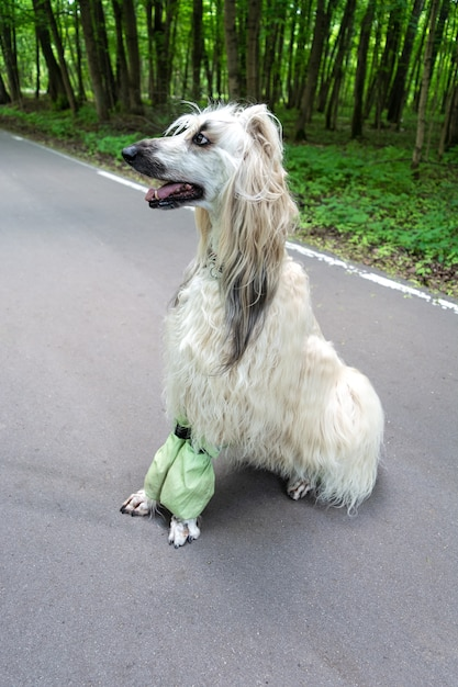 Afghan hound sitting on the asphalt walkway in the park Premium Photo